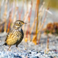 Buff-Bellied Pipit / Anthus rubescens / Pasifik Incirkuşu
