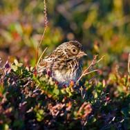 Lapland Longspur / Calcarius lapponicus / Mahmuzlu Çinte