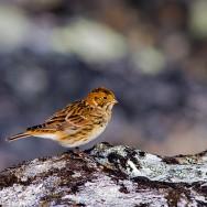 Lapland Longspur / Calcarius lapponicus / Mahmuzlu LJinte