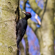 Black Woodpecker / Dryocopus martius / Kara Ağaçkakan