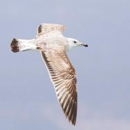 Caspian Gull / Larus cachinnans / Hazar Martısı