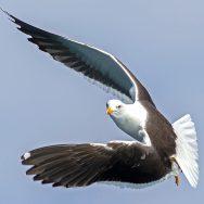 Lesser Black-Backed Gull / Larus fuscus / Kara Sırtlı Martı