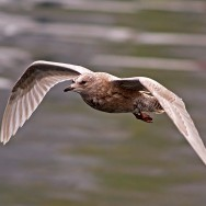 Icelandic Gull / Larus glaucoides / Izlanda Martısı
