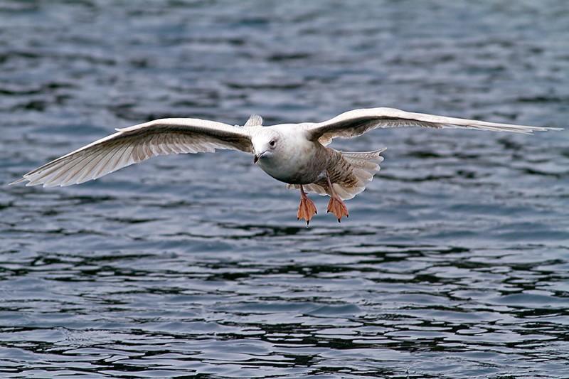 Glaucous Gull / Larus hyperboreus / Kutup Martısı