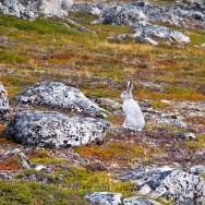 Arctic Hare / Lepus arcticus / Kutup Tavşanı