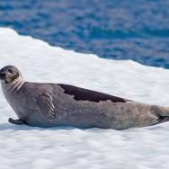 Harp Seal / Pagophilus groenlandicus / Grönland Foku
