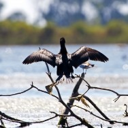 Pygmy Cormorant / Phalacrocorax pygmeus / Küçük Karabatak