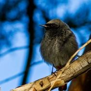 Black Redstart / Phoenicurus ochruros / Kara Kızılkuyruk