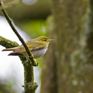 Wood Warbler / Phylloscopus sibilatrix / Orman Çıvgını