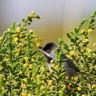 Rüppel's Warbler / Sylvia rüppelli / Kara Boğazlı Ötleğen