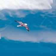Northern Fulmar / Fulmarus glacialis / Kutup Fırtınakuşu