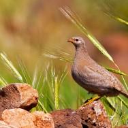 See-See Partridge / Ammoperdix griseogularis / Kum Kekliği