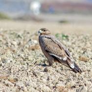 Steppe Eagle / Aquila nipalensis / Bozkır Kartalı