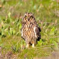 Short-Eared Owl / Asio flammeus / Kır Baykuşu