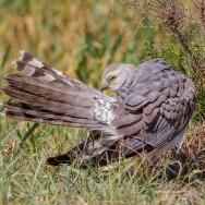 Hen Harrier / Circus cyaneus / Gökçe Delice