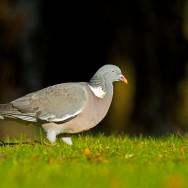 Woodpigeon / Columba palumbus / Tahtalı