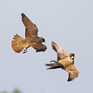 Peregrine / Falco peregrinus / Gökdoğan