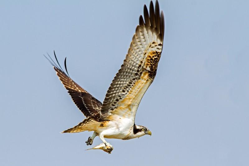 Osprey / Pandion haliaetus / Balık Kartalı