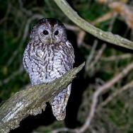 Tawny Owl / Strix aluco / Alaca Baykuş