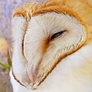 Barn Owl / Tyto alba / Peçeli Baykuş