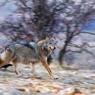 Canis Lupus / Wolf / Kurt