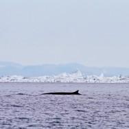 Fin Whale / Balaenoptera physalus / Fin Balinası