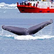 Humpback Whale / Megaptera novaeangliae / Kambur Balina