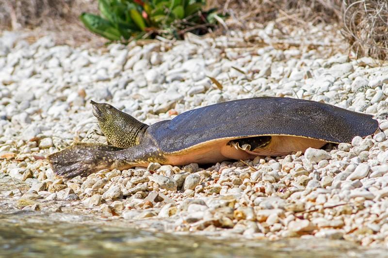 Trionyx triunguis / Soft-shelled nile turtle / Nil kaplumbağası